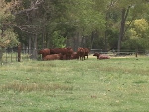 moxley-cows.jpg
