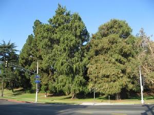trees_in_la