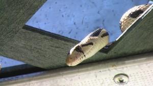 snake-monroe