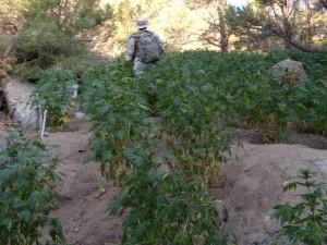 marijuana_grow