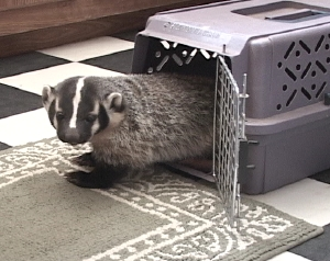 badgercage