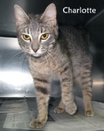 Charolette the Cat up for Adoption