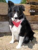 Allie the Border Collie Up for Adoption