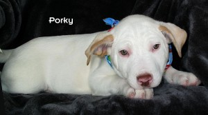13-02-08 Last of 5 American Bulldog mix puppies male 2 ID13-01-006 - SBP 1-4 to BV FACEBOOK