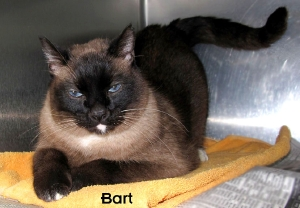 13-02-22 Seal Pt Siamese neut male 6 yrs BART 2 ID13-02-011 - FACEBOOK