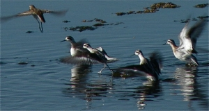 From the ES Audubon Society website - Red-necked Phalaropes at Owens Lake Photo by Michael Prather