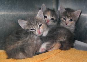 13-06-01 Three dilute Calico kittens 7 weeks ID13-06-002 - OR6-1 Tabitha Warner 217 Pangborn LP 928-551-1740 KSRW