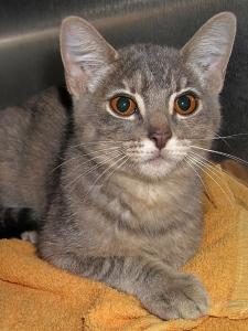 13-09-07 MARYJO One of 2 kittens Cali Tabby fem 1 ID13-08-030 - COLOR NEWSPAPER