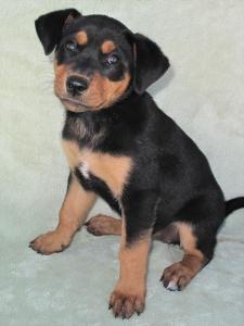 13-09-07 REGAN Black & tan female puppy 8 weeks 2 ID13-09-004 - COLOR