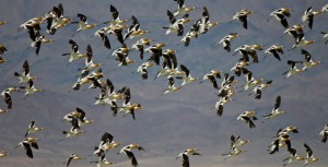 Avocet flock.  Photo by Gail Klett