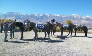 mules100
