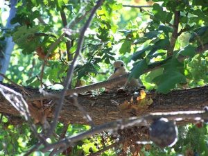 songbird-lewis