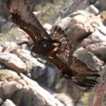 Golden Eagle soaring, from below.