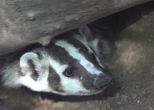 Juvenile American Badger learning burrowing and hunting.