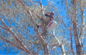 Trained Rescue and Return volunteer returning Great Horned Owl baby to nest.