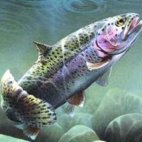 rainbow-trout1
