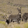 wild burros in Death Valley